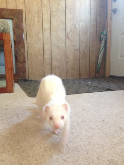 A ferret who likes to make an entrance.