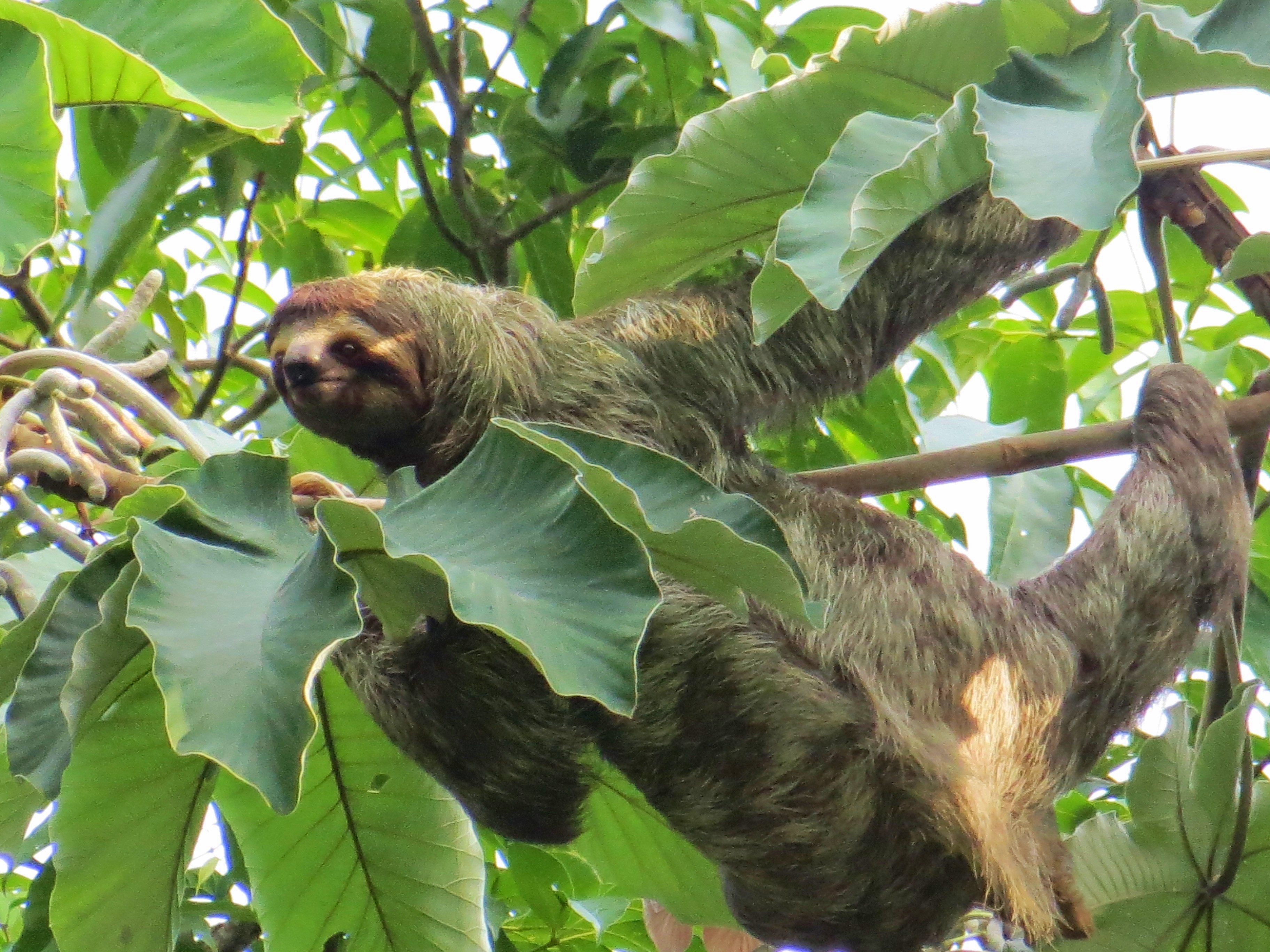 We ended up seeing not only one, but four sloths on our search. One of the workers saw us and helped point them out, even indicating that one of them was ...